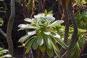 pic of rosette  - Tree aeonium (Aeonium arboreum) rosette of leaves ** Note: Shallow depth of field - JPG
