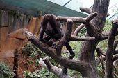 picture of gorilla  - A western lowland gorilla  - JPG