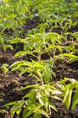 image of tomato plant  - tomato seedlings planted in the ground - JPG