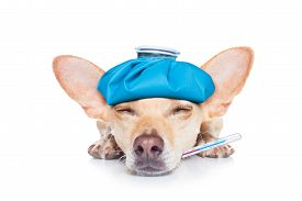 foto of suffering  - chihuahua dog with headache and hangover with ice bag or ice pack on headthermometer in mouth with high fever eyes closed suffering isolated on white background - JPG