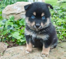 picture of puppy eyes  - Very cute Pomsky puppy sitting on a rock outdoors with very blue eyes - JPG