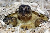 stock photo of russian tortoise  - a pet russian tortoise emerging from its sleeping burrow in dried hemp within a vivarium - JPG