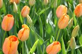 Orange tulips in a field of green