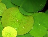 Big Green Water Lily Pads