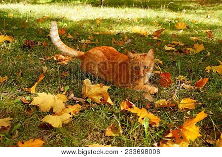 poster of Red Cat In Autumn. Ginger Cat Playing In Autumn Park Or Forest. Tabby Cat Playing With Falled Leaves