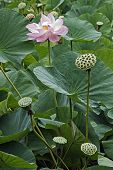 Sacred Lotus (nelumbo Nucifera). Known Also As Indian Lotus, Bean Of India And Lotus. poster