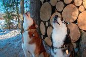 Howling Dogs In Winter Forest On Background Woodpile. Side View Howling Siberian Husky Heads. poster