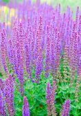 stock photo of purple sage  - violet salvia officinalis - JPG