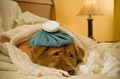 picture of get well soon  - Sick as a dog concept  - JPG