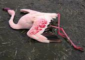 Dead Flamingo