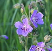 Blue Geranium Pratense Flower. Geranium Pratense Known As The Meadow Cranes-bill Or Meadow Geranium poster