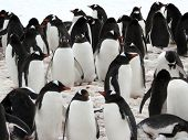 Group Of Gentoo Penguins In Antarctica