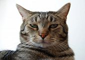 Serious Tiger Cat