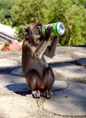 Monkey Drinking Iced Tea poster