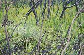 Regrowth Of An Australian Grass Tree, Xanthorrhoea, Amongst Blackened Trees After A Bushfire In Heat poster