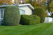 picture of tree trim  - neatly trimmed shrubs adorn this yard - JPG