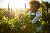 young african american millennial woman pulling golden beets from dirt in communal urban garden poster