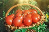 Fresh Ripe Red Red Pear Tomatoes In A Basket On The Garden poster