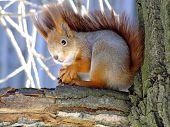 Постер, плакат: Squirrel On Tree Closeup Of Cute Grey And Red Squirrel Eating Nut sciurus Vulgaris Curious Squir