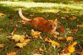 Red Cat In Autumn. Ginger Cat Playing In Autumn Park Or Forest. Tabby Cat Playing With Falled Leaves poster