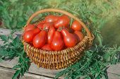 Fresh Ripe Red Pear Tomatoes In A Basket On The Garden poster