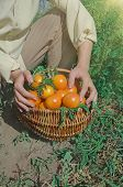Freshly Harvested Yellow Tomatoes. Fresh Yellow Tomatoes On Ground. poster