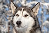 Close-up Portrait Of Sled Dog
