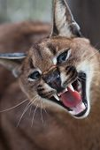 Laughing Caracal