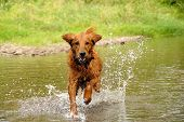 picture of dog teeth  - running wet orange golden retriever dog over water outdoors - JPG