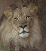 picture of african lion  - Sepia - JPG