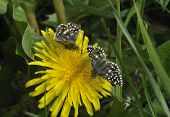 Two Grizzled Skipper Butterflies