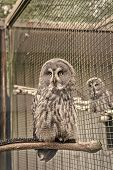 Owl Outdoor Shot. Owl Typical Species For Many Countries. Owl In Zoo Cage. Animal Shot Capturing Owl poster