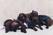 French Baby Bulldog Puppies Posing Puppy Sitting And Looking To The Side. poster
