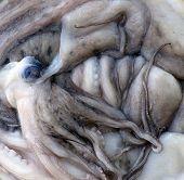 image of yucky  - frozen musky octopi - JPG
