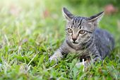 Kittens On Green Grass.kitten Looking At The Victim.kittens Are Playing On A Green Lawn. Kitten Secr poster