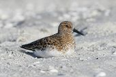 Sanderling In Breeding Plumage