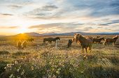 Group Of Icelandic Horses In Pasture With Mountains Background. poster