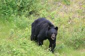 Angry Black Bear