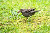 A Female Blackbird Collects Worms On A Green Lawn. Female Blackbird, Turdus Merula. Bird With Beak F poster