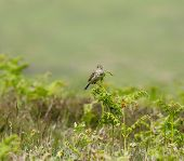 Common Skylark On Bracken