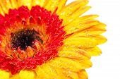 Orange Yellow Gerbera Extreme Close Up With Water Drops