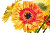 Orange Yellow Gerbera Flower Extreme Close Up