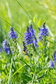 Veronica Teucrium Plantaginaceae Wild Blue Flower On A Green Meadow, Vertical. Flowering Meadow, Tal poster