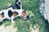 Tricolor Young Beautiful Basset Hound Staying On Grass And Drinking A Water poster
