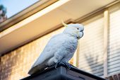 Sulphur-crested Cockatoo Seating On A Roof. Urban Wildlife. Australian Backyard Visitors poster