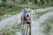Cheerful Weimaraner Running At Camera At Field poster