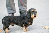 Black Dachshund With Brown Spots On Its Face And Legs. Miniature Wirehaired Dachshund On A Red Leash poster