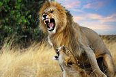 pic of mating animal  - A pair of mating lions in the evening savannah Masai Mara Kenya - JPG