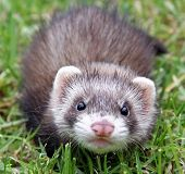 picture of ferrets  - An 8 week old sable female ferret kit out on the grass - JPG