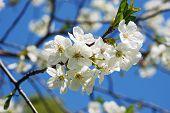 Fruit Tree At Blossom
